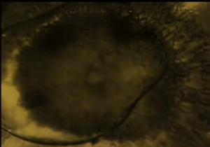 mmicroo - Los microorganismos que calleron en Evora tras el paso de un OVNI